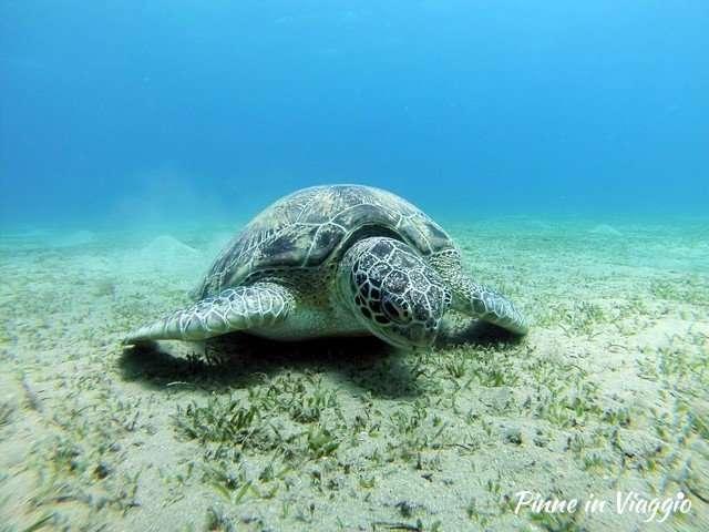 tartaruga nel mar rosso