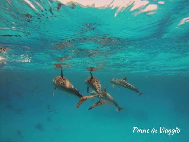 Delfini nel mar rosso