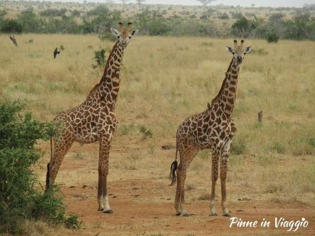 Giraffe nel parco delle tsavo
