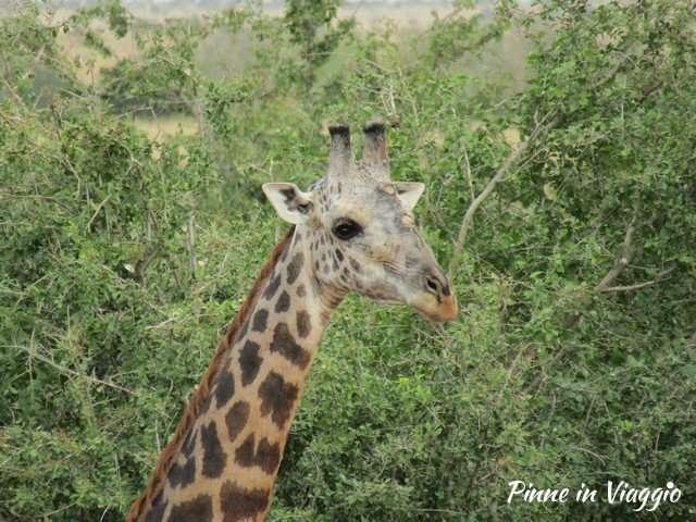 giraffa in Kenya