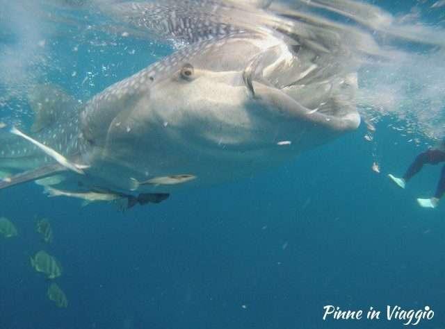 diving con lo squalo balena