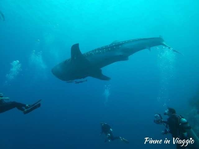squalo balena moalboal