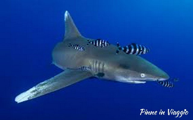 Squalo elphinsone reef