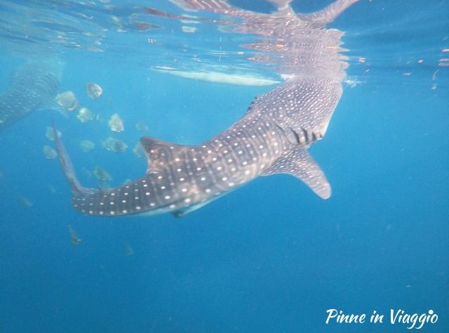 oslob e gli squali balena