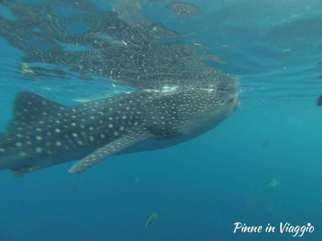squali balena